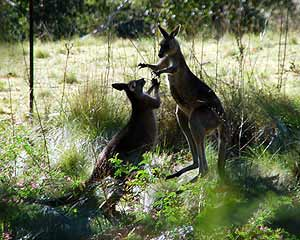 Boxing kangaroos in Blue Mountains